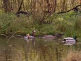 Een opmerkelijke ménage à trois tussen mandarijneendenman en een paartje wilde eenden
