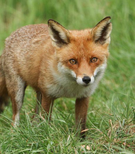 Jagers in Groningen mogen niet langer 's nachts op vossen schieten. Provincie draait beslissing terug