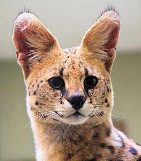 Gemist? Politieke bijeenkomst over Feyenoord City afgeblazen en een serval als huisdier, mag dat wel?