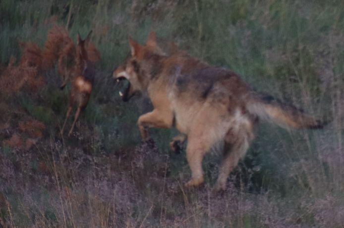 De jagende wolf in de bossen op de Noord-Veluwe.