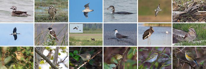 Een door Corstiaan Beeke samengestelde collage van door leden van Vogelwerkgroep Walcheren vastgelegde, bijzondere vogels, die in 2020 op Walcheren werden gespot.