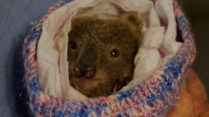 Deze babykoala werd gered tijdens de bosbranden in Australië