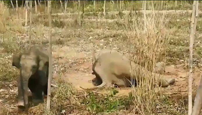 L'éléphanteau était pour le moins déterminé