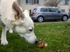 Puppy doodziek na het eten van gifspons, die werd neergelegd achter Intratuin in Nuenen