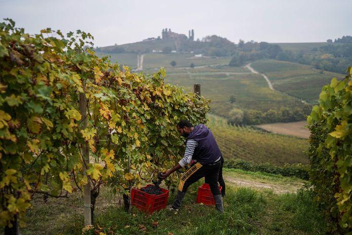 Illustratiebeeld. Druiven worden geplukt in het noorden van Italië.
