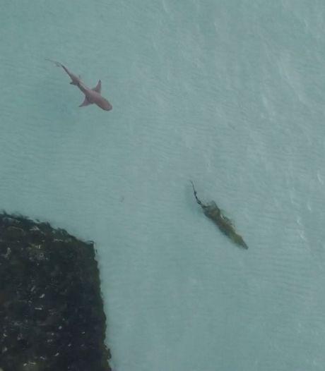 Un requin affamé traque un crocodile près des côtes australiennes
