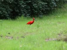 Bijzondere vogel gespot in Eindhoven, Rode Ibis trekt de aandacht