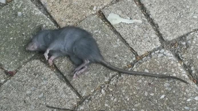 Van Tongeren kreeg foto's toegestuurd van ratten die gevangen waren. De klachten kwamen zowel uit Aalst als uit Waalre-dorp.