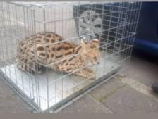 Amersfoorters denken dat man lynx uit kooi haalt, maar dat bleek niet zo te zijn...