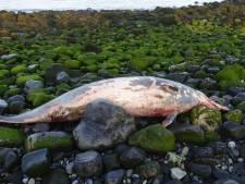 Bijzondere dolfijn aangespoeld op Roggenplaat