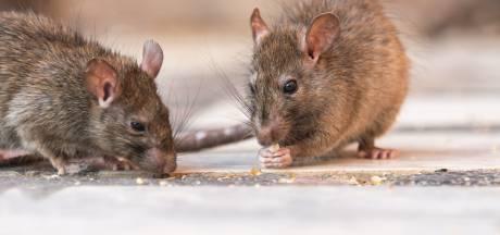 Ratten profiteren van onze avondklok: 'Ze hoeven nu niet steeds weg te schieten tijdens het eten'
