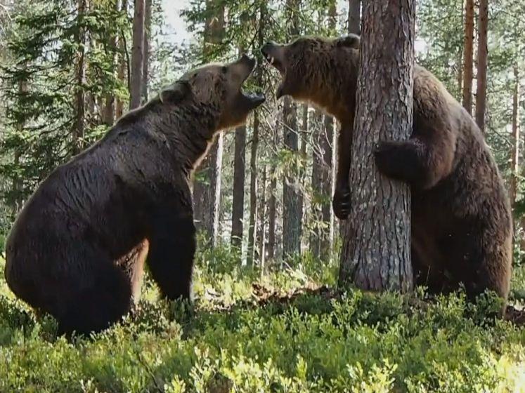 Violent affrontement entre eux ours en Finlande