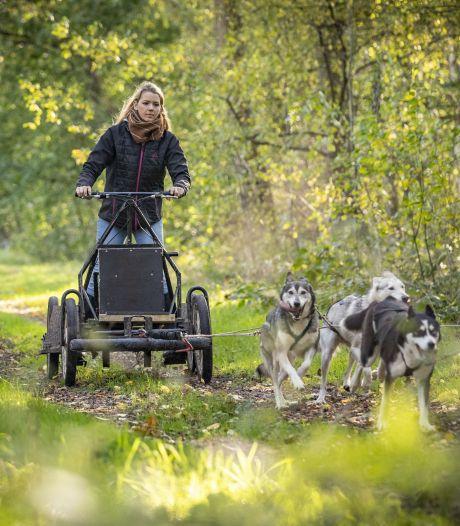 Husky's sjezen over de Vasserheide en trekken over zandparcours in plaats van sneeuwpaden