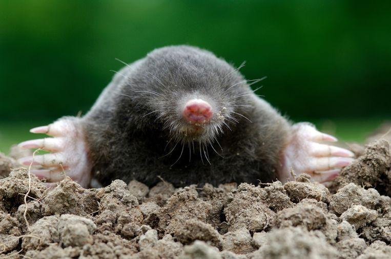 Mollen zijn door de vaak harde en droge bodem genoodzaakt om bovengronds te jagen. Beeld © Henry Ausloos