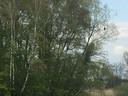 Wie goed zoekt, ontdekt daar, rechts bovenin de boom, de dode aalscholver.