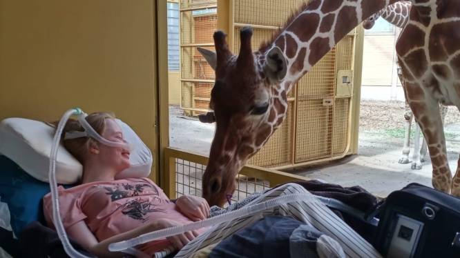 Giraffe in Diergaarde Blijdorp brengt terminale patiënte ontroerende laatste groet