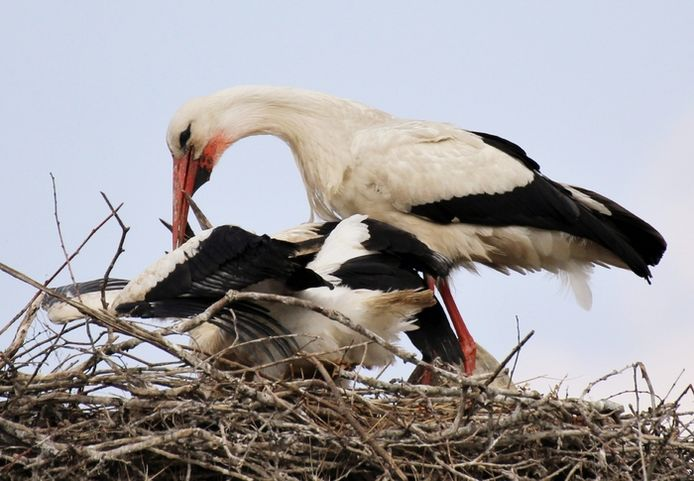 Moeder ooievaar is weer op pad geweest voor eten. Deze foto gemaakt vlakbij Dierenrijk. De ooievaars hebben een nest boven op het spoor (lezersfoto).