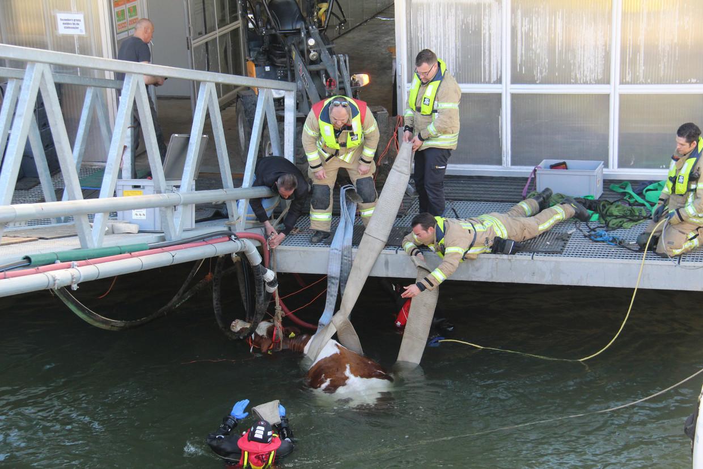 Op de foto's die van de reddingsactie werden genomen, zie je meteen dat de koe nooit in haar eentje weer op de kant had kunnen komen. Beeld ANP