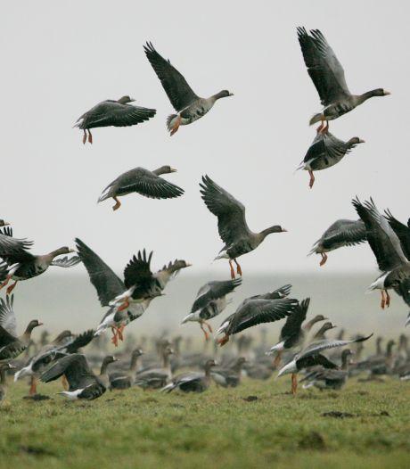 MCL verhuist ganzenfamilie van terrein om te voorkomen dat ze overreden worden
