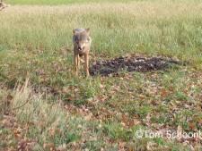 Tom filmt wolf bij daglicht op Sallandse Heuvelrug: 'Waanzinnig beeld'