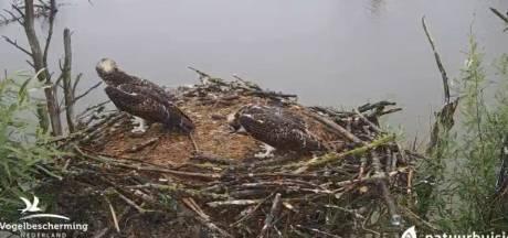 Eerste jonge visarend vliegt het nest uit, andere twee nog druk aan het oefenen