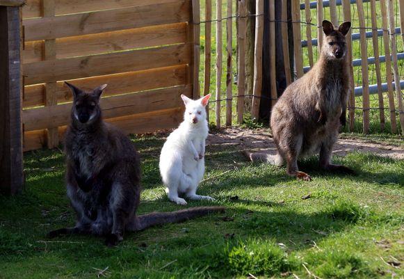 De twee bruine wallaby's kregen een wit jong.