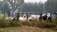 Zes runderen in beslag genomen na verwaarlozing