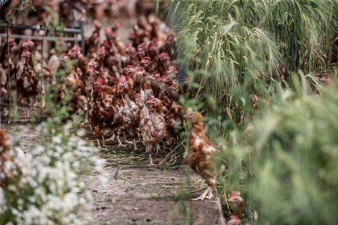 De kippen van Tomesen mogen eindelijk weer naar buiten.