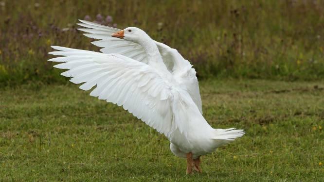 Verbod op productie ganzenlever in Brussel, ook al wordt er helemaal geen ganzenlever geproduceerd