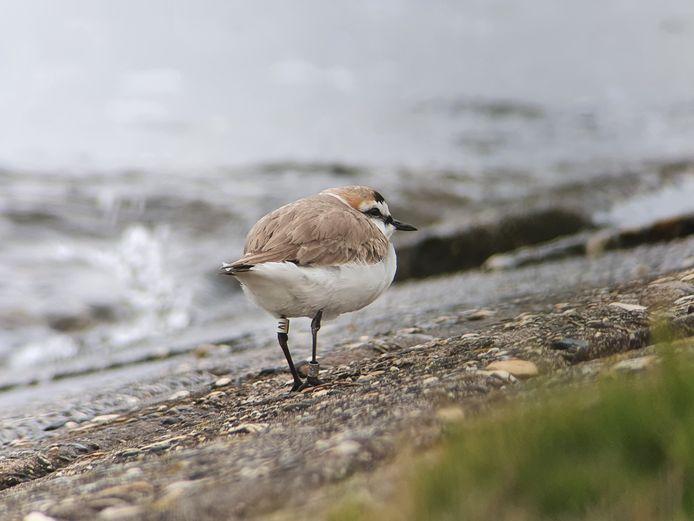 De oudste strandplevier van Nederland is 16 jaar oud en broedt nu aan de Oosterscheldekust. Op de witte ring aan zijn linkerpoot is zijn code af te lezen. Daarmee kan de vogel van een afstand worden geïdentificeerd.