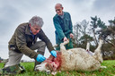 Henk Emmerzaal neemt een DNA-monster van een een doodgebeten schaap op het erf van Arnold Manders. Mogelijk is het een wolf geweest.