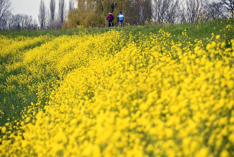E-bikers op Waaldijk in Dodewaard met op de voorgrond bloeiend raapzaad in de berm. Beeld Marcel van den Bergh/de Volkskrant