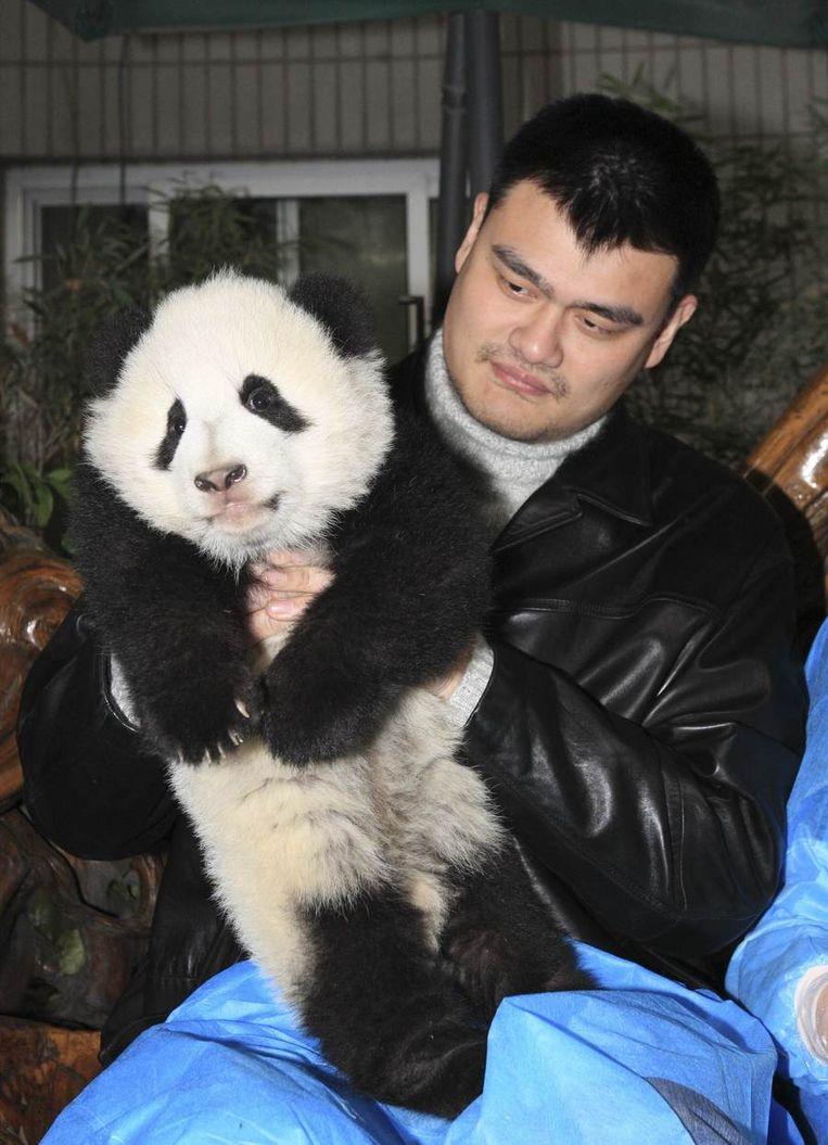 Oud-NBA-basketballer Yao Ming speelt met een babypanda op het onderzoekscentrum in Chengdu.<br /><br />Zes in gevangenschap grootgebrachte reuzenpanda's zijn in de Chinese  provincie Sichuan uitgezet in een omheind bosgebied van twintig hectare.  De dieren worden daar voorbereid op een terugkeer naar de wildernis.<br /> <br /> Onderzoekers hopen dat de panda's, die hun nieuwe leefgebied woensdag  voor het eerst betraden, leren hoe ze naar voedsel moeten scharrelen en  hoe ze zich moeten voortplanten, zodat ze uiteindelijk in staat zijn  zichzelf te redden. De dieren zijn tussen de twee en vier jaar oud en  zijn uitgekozen vanwege hun goede gezondheid, hun gedrag en hun gunstige  genetische eigenschappen.<br /> <br /> Als de panda's met succes terugkeren naar het wild is dat een opsteker  voor natuurbeschermers die de diersoort proberen te redden. Beeld reuters