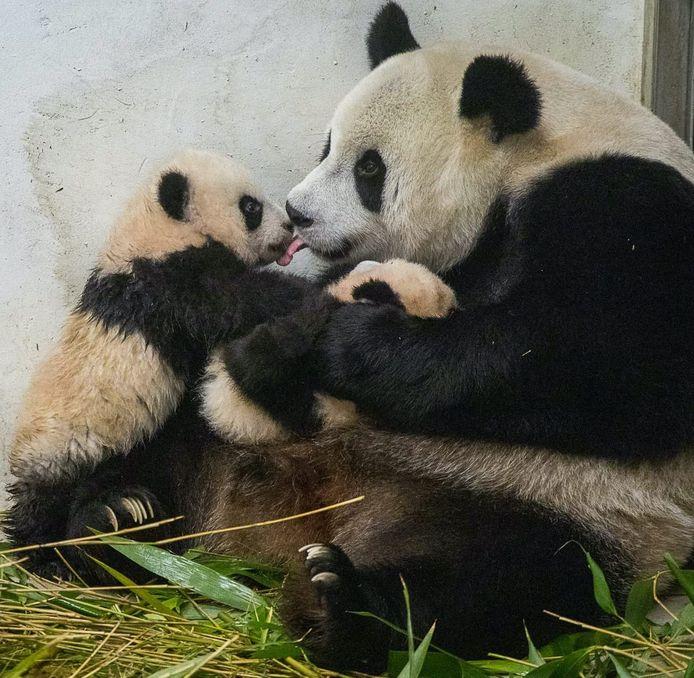 Volgens de Belgische Dierentuin Pairi Daiza, die in 2016 een eerste pandajong verwelkomde en waar in 2019 zelfs een tweeling volgde, moeten we vooral geduld hebben.