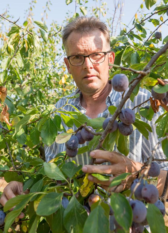 Fruitteler Kees Hamelink tussen zijn Opal-pruimen. Ze zijn rijp  en smaakvol, maar kleiner zijn dan 38 mm die de supermarkt graag heeft. De prijs die hij ervoor kan krijgen dekt slechts de helft van de kosten die de teler maakte.