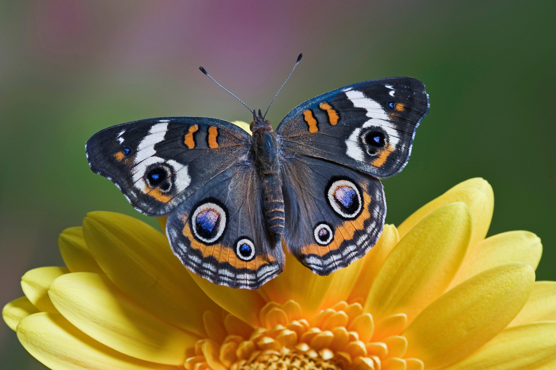 De Bokkenoog-vlinder. Beeld Imageselect