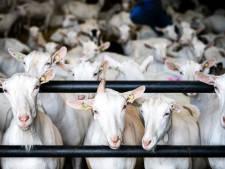 Buren in verzet tegen 730 geiten erbij in nieuwe stal in Zelhem: vrees meer longklachten en overlast