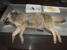 Op Veluwe doodgereden jonge wolf 'had goed gevulde maag en was in prima conditie'