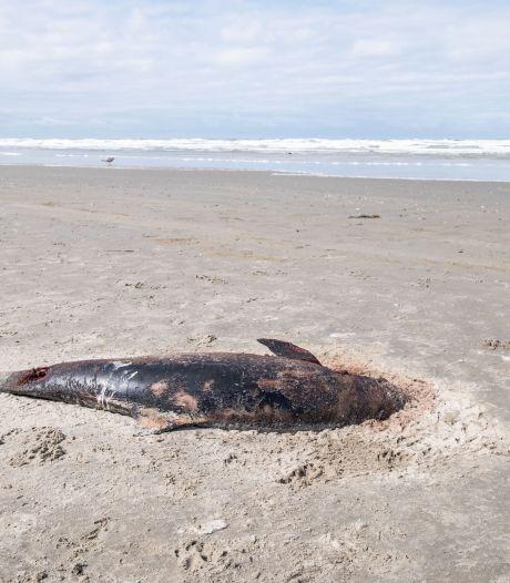 Plotseling 'massale stranding' van bruinvissen op Waddeneilanden