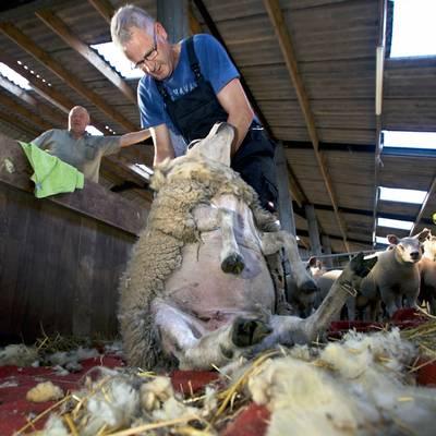 Als ie maar op zijn schapenkont blijft...