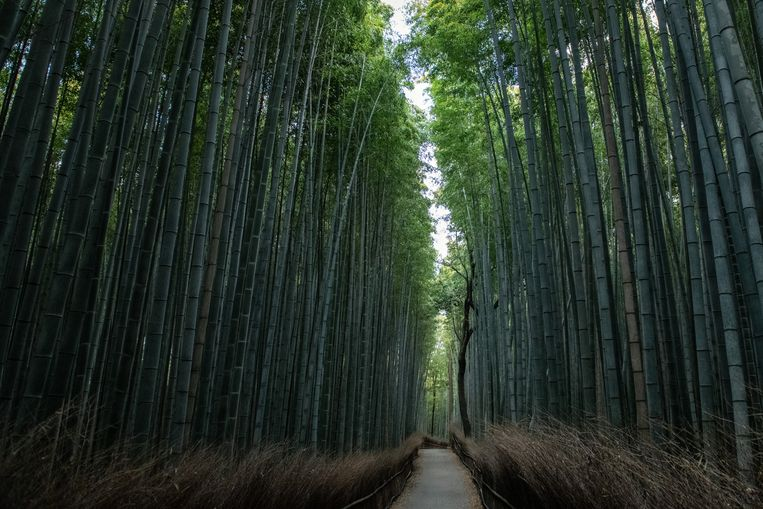 Een bamboebos in Japan.  Beeld Getty Images
