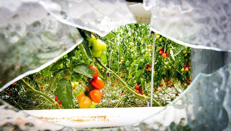 Gebroken glas bij tuinbouwbedrijf Groenco na fikse hagelbuien. Beeld anp