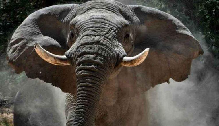 De doodgeschoten olifantenstier Voortrekker in betere tijden.  Beeld Frank Castelein