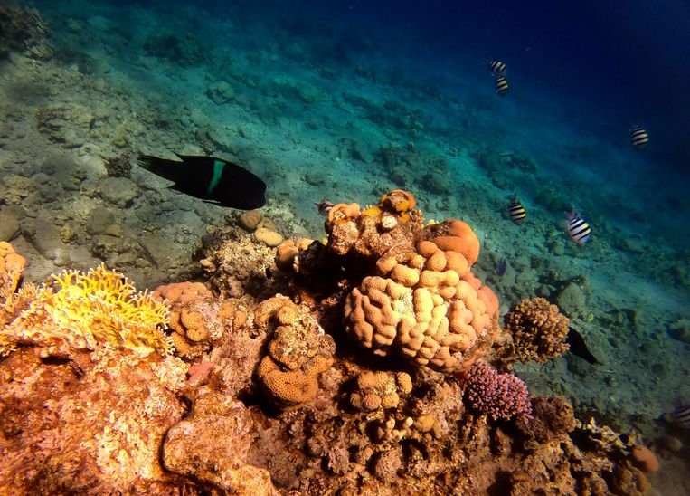 Koraal in de Rode Zee. Een derde van alle koraal is aan het verbleken, de rest is al dood.  Beeld AFP