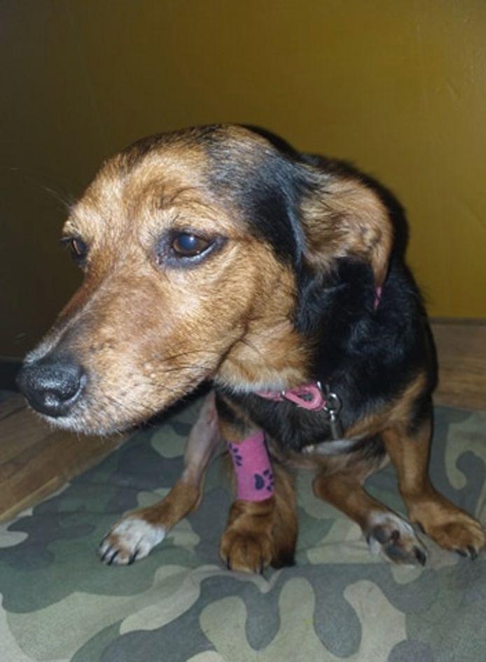 Het hondje Missy is met succes geopereerd aan beide kruisbanden.