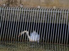 Dierenambulance en brandweer rukken uit voor vast gezwommen zwaan in Nijkerk