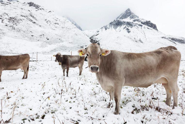 Oostenrijkse koeien in Arlberg. Beeld EPA