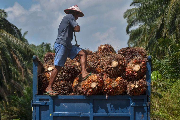Doordat oerwoud wordt platgebrand voor palmolieplantages, verliezen primaten als de orang-oetan hun habitat. Beeld WAYHUDI, AFP