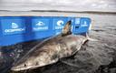 De witte haai Nukumi.