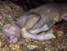 De nouvelles images insoutenables dans un abattoir en France